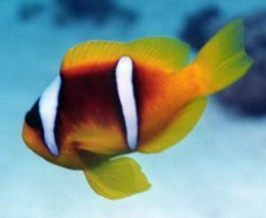 Clownfish, Sharm el Sheikh, Ikelite Housing, Nikon F65,Ni... by Philip Norris