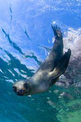 You lookin' at ME?  Los Islotes, Sea of Cortez Fuji S2... by Richard Horn