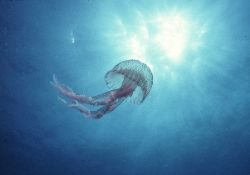 Jellyfish aiming to the sun; Blue coast, Marseille, Medit... by Jean-claude Zaveroni