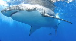 Great White Shark, Isle Guadalupe. Not the moment to real... by Anna Kinnersly