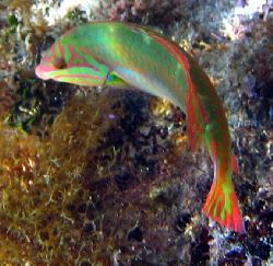 Clown Wrasse. A95 Canon by Robert Verkoeyen