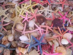 Seastars and shells in Simi, Greece by Gordana Zdjelar
