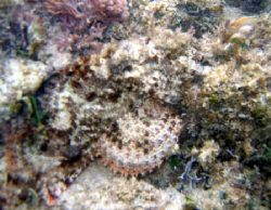 Spotted Scorpionfish, Excellent Camoflauge. Canon A95 by Robert Verkoeyen