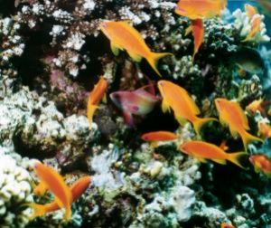Scalefin Anthias, Sharm el Sheikh, Ikelite Housing, Nikon... by Philip Norris