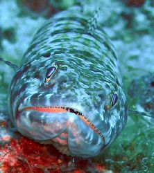 Lizardfish BVI, I've swam passed these so many times wito... by Anna Kinnersly