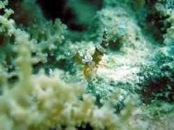 squat shrimp on an anemone.photo taken in samal island, d... by Carlos Munda