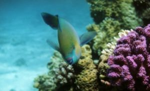 Parrotfish, Sharm el Sheikh, Ikelite Housing, Nikon F65,N... by Philip Norris