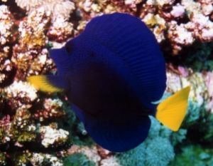 Purple Tang, Sharm el Sheikh, Ikelite Housing, Nikon F65,... by Philip Norris