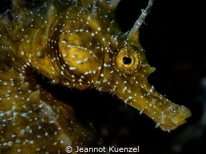 The markings on the face of the Seahorse (Hippocampus hip... by Jeannot Kuenzel