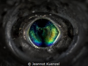 Like a precious gem, the eye of the Lizard Fish glows in ... by Jeannot Kuenzel