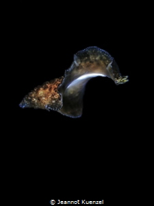Like a butterfly of the deep, a tiny flatworm takes fligh... by Jeannot Kuenzel