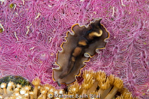 Flatworm on the pink coral. by Mehmet Salih Bilal