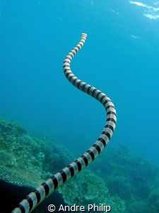 Banded Seasnake on the way to the surface - I like the in... by Andre Philip