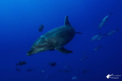 Bottlenose Dolphin taken with Sony RX-100 at Socorro Isla... by Eric Addicott