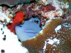 Hiding in the coral. Nikon Coolpix 4300 with built in flash by Jonathan Pardys