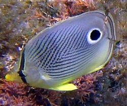 Four eyed Butterfly fish by Robert Verkoeyen