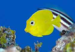 Yellow Tang, T&C by Andy Lerner