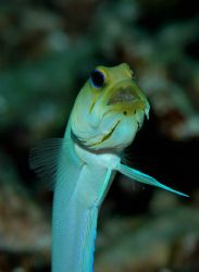 Image of a male yellow head jawfish with a mouthful of in... by Bill Miller