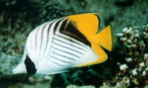 Threadfin Butterflyfish,Sharm el Sheikh, Ikelite Housing,... by Philip Norris