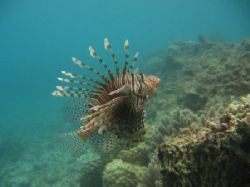 Finally, the perfect shot of this lionfish. Taken with my... by Arno Dekker
