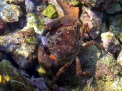 Crab by Damir Skific