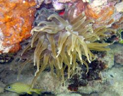 Sea Anenome by Robert Verkoeyen