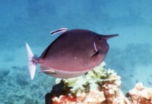Spotted Unicornfish, Sharm el Sheikh, Ikelite Housing, Ni... by Philip Norris