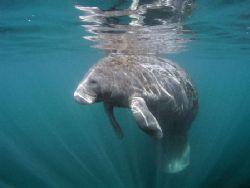 Manatee at Crystal River Florida. Camera Olympus C5050, I... by Ray Eccleston