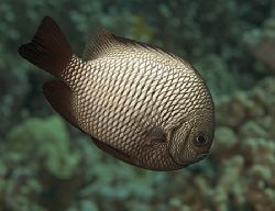 Hawaiian Domino Damselfish, 60mm, Big Island by James Kashner