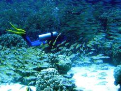 diver among fish and corals by Gordana Zdjelar