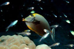 Orangespine Unicornfish by Dave Reid
