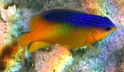 Cocoa Damselfish. Canon A95 by Robert Verkoeyen