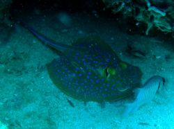 Spotted ray taken at Pulau Perhentian, West Malaysia by Dennis Siau