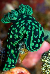 The dive sites in Rinca near Komodo are rich with these g... by Erin Quigley