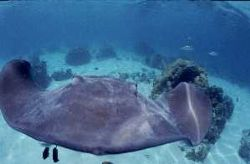 Stingray stuck on my dome in Moorea lagoon, French polyne... by Jean-claude Zaveroni