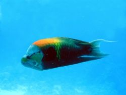 colourful wrasse, Red Sea, Egypt by Gordana Zdjelar