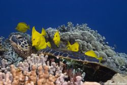 Turtle Cleaning Station in Hawaii(Yellow Tangs cleaning a... by James Kashner
