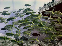 School of Goatfish ~100 foot depth swimming over Mahi Wre... by Glenn Poulain
