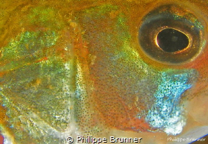 Bass, eye and skin by Philippe Brunner