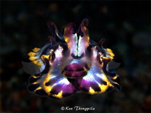 Flamboyant Cuttlefish in Anilao by Ken Thongpila