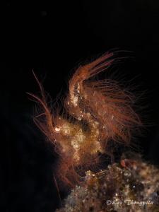 Algae Shrimp about less than 1cm by Ken Thongpila