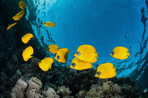 Small school of butterflyfish near the surface at dusk & ... by Paul Colley