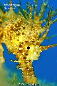 mediterranean seahorse by Oscar Miralpeix