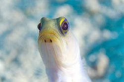 Jawfish. Turks & Caicos by Andy Lerner