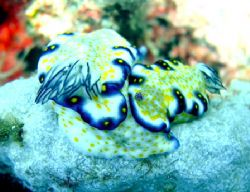 nudibranchs, outside kewalo basin, oahu, hawaii by Elizabeth Chase