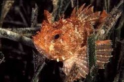 Scorpion fish resting on sea grass posidonia, Aragnon roc... by Jean-claude Zaveroni