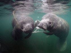 manatees playing camera olympus c-5050 ikelite housing wi... by Ray Eccleston