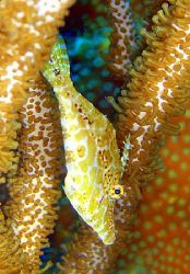 Slender File fish hiding in the soft corals. Olympus C7070 by Anna Kinnersly