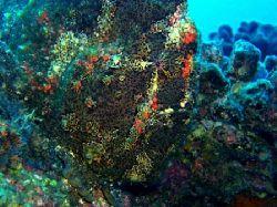 Frogfish Playing Hide & Seek. Mahi shipwreck, Oahu, HI. F... by Dallas Poore