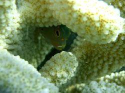 arceye hawkfish, oahu, hawaii by Elizabeth Chase
